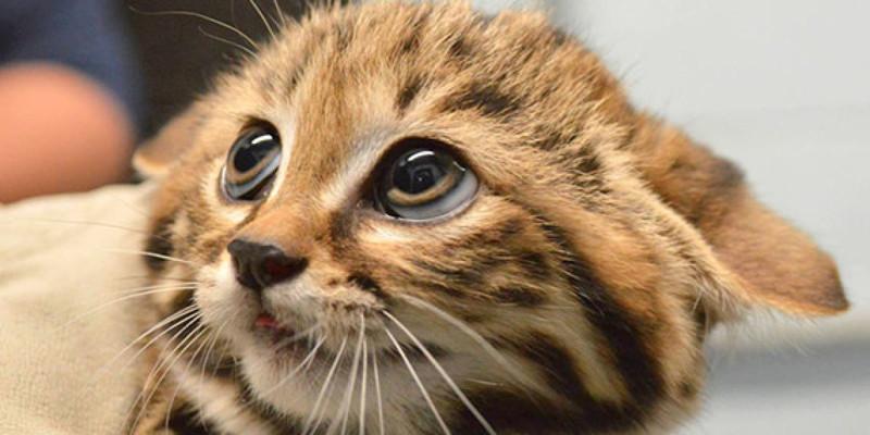 فوبيا القطط Ailurophobia